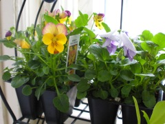 happy little violas